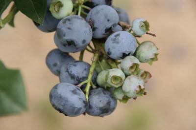 berry0002.JPG